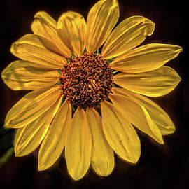 Sunflower On Black by Robert Bales