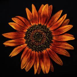 Sunflower on black by Vishwanath Bhat