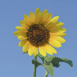 Sunflower On Blue Background  by Jennifer Wallace
