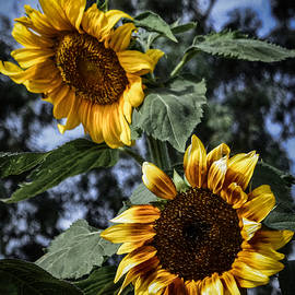 Sunflower Pair by Bonny Puckett