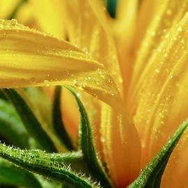 Sunflower Petals - Macro by Arlane Crump