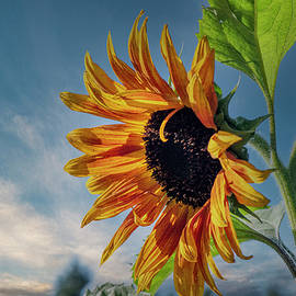 Sunflower by Philip Rispin