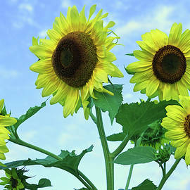 Sunflower Quartet by Robert Tubesing