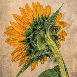 Solo Sunflower by Luther Fine Art