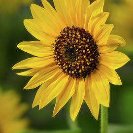 Sunflower Sunshine by John Rogers