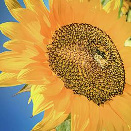 Sunflower Sunspot by Rebecca Herranen