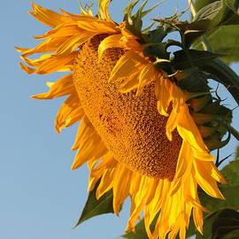 Sunflower Wake Up Call by Carol Groenen