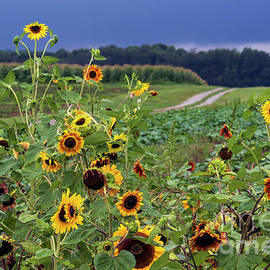 Sunflowers and Approaching Storm - D010862 by Daniel Dempster