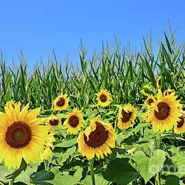 Sunflowers and Cornfield. by Regina Geoghan