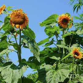 Sunflowers Are Up by Johanna Zettler