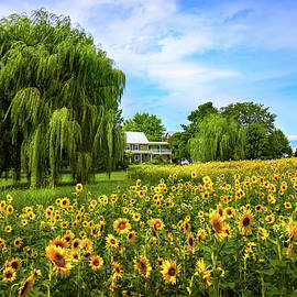 Sunflowers at the Farm by Carolyn Derstine