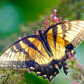 Sunlight on Tiger Swallowtail by Kathi Isserman