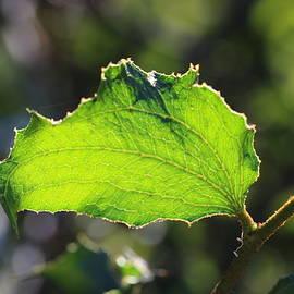 Sunlit Acacia by Michaela Perryman