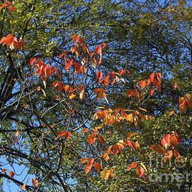 Sunlit Russet Leaves against Blue Sky by Kathryn Jones