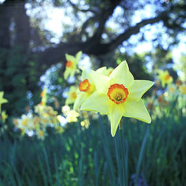 Sunlit Daffodil and the Oak by Kathy Yates