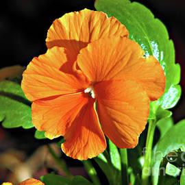 Sunlit Orange Pansy by Kathryn Jones