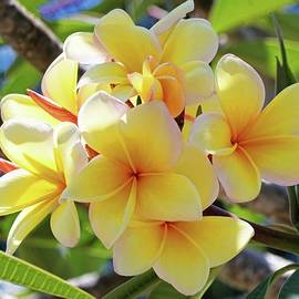 Sunlit Plumeria by HH Photography of Florida