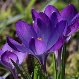 Sunlit purple crocus flowers, Crocus tommasinianus, blooming in the Spring sunshine by Jackie Tweddle