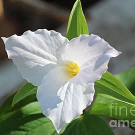 Sunlit White Trillium by Maili Page