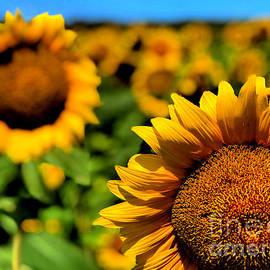 Sunny Field by Jenny Revitz Soper
