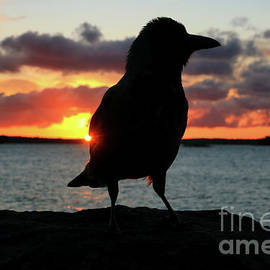 Sunrise with Hooded Crow by Taina Sohlman