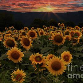 Sunset in a sunflower field by Rita Di Lalla