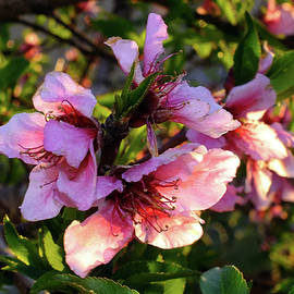Sunset Peach Blossoms by Bill Morgenstern