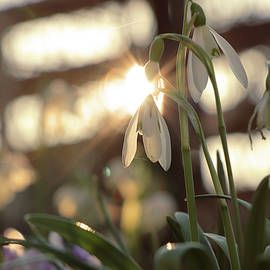 Sunset through Galanthus in afternoon hours. Golden hour on the garden. Galanthus nivalis with blurred background.  Springtime is here. First plant after snow. Snowdrop with sun rays.  by Vaclav Sonnek