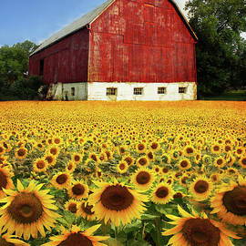 Sunshine Sunflowers and A Red Barn by Barbara McMahon