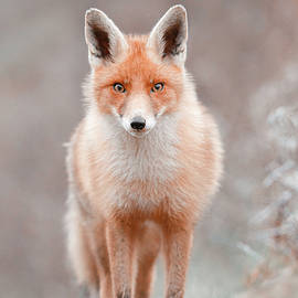 Surprised Eyes - A beautiful red fox encounter by Roeselien Raimond