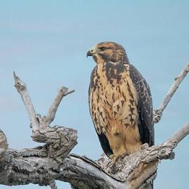 Swainson's Hawk by David Hicks