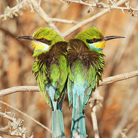 Swallow-tailed Bee-eaters by MaryJane Sesto