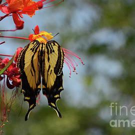 Swallowtail Beauty by Debby Pueschel
