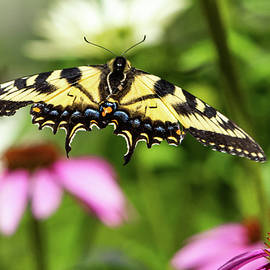 Swallowtail flying amongst the coneflowers by Sandra Nelson