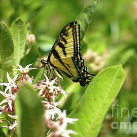 Swallowtail in milkweed by Jeff Swan