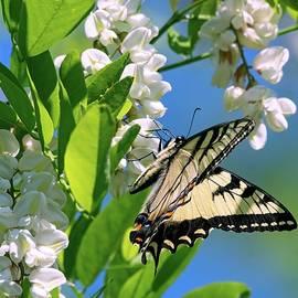Swallowtail by Kirk Riedel