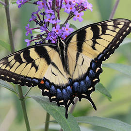 Swallowtail on a Butterfly Bush by Linda Goodman
