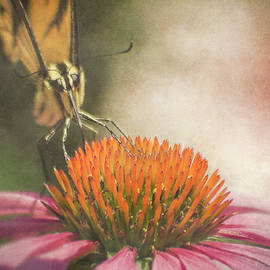 Swallowtail on Coneflower by Francis Sullivan
