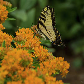 Swallowtail on Milkweed by Louise Reeves