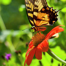 Swallowtail on Tithonia by Richard Perry