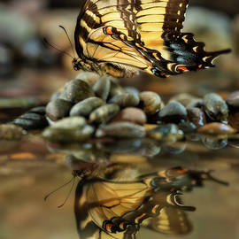 Swallowtail's Reflection 3 by John Rogers