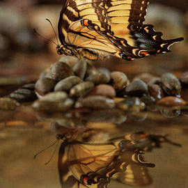 Swallowtail's Reflection by John Rogers