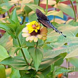 Swallowtail's Tail by Nancy Kane Chapman