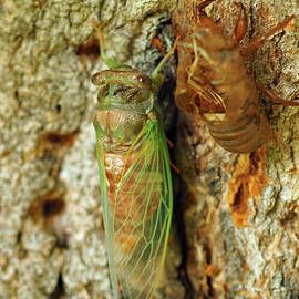 Swamp Cicada by Peterson Nature Photography