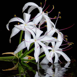 Swamp Lily by Bill Chambers
