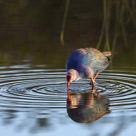 Swamphen by Juergen Roth
