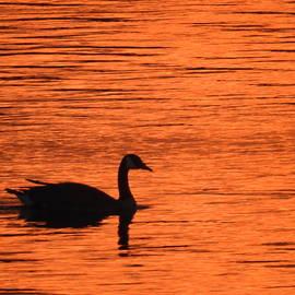 Swan at Sunset by Barbara Ebeling