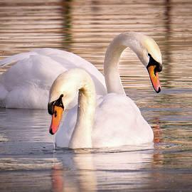 Swan Couple by Judi Dressler