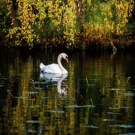 Swan in Autumn Lake by Nicklas Gustafsson