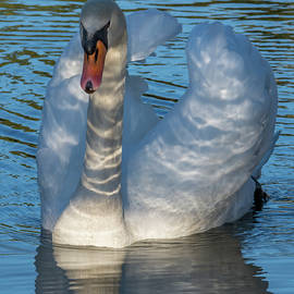 Swan in the Shadows by Bruce Frye